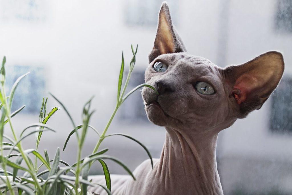 Katze (Sphinx) riecht an einer kleinen Pflanze