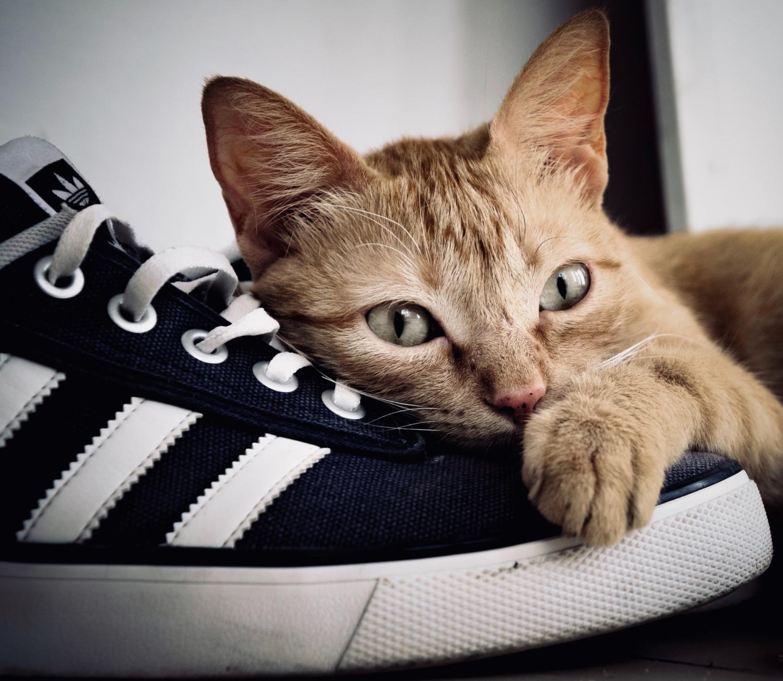 Katze liegt auf einem Schuh