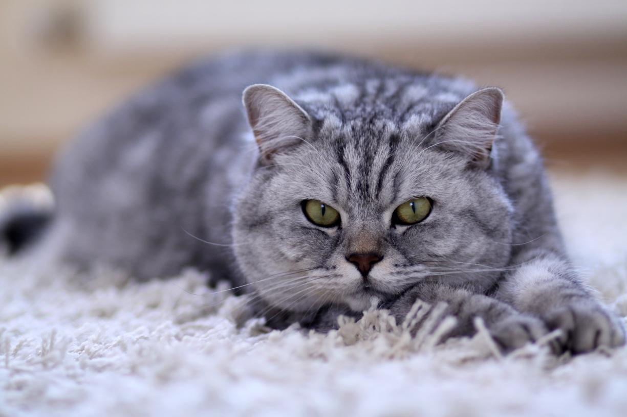 Katze liegt auf Teppich