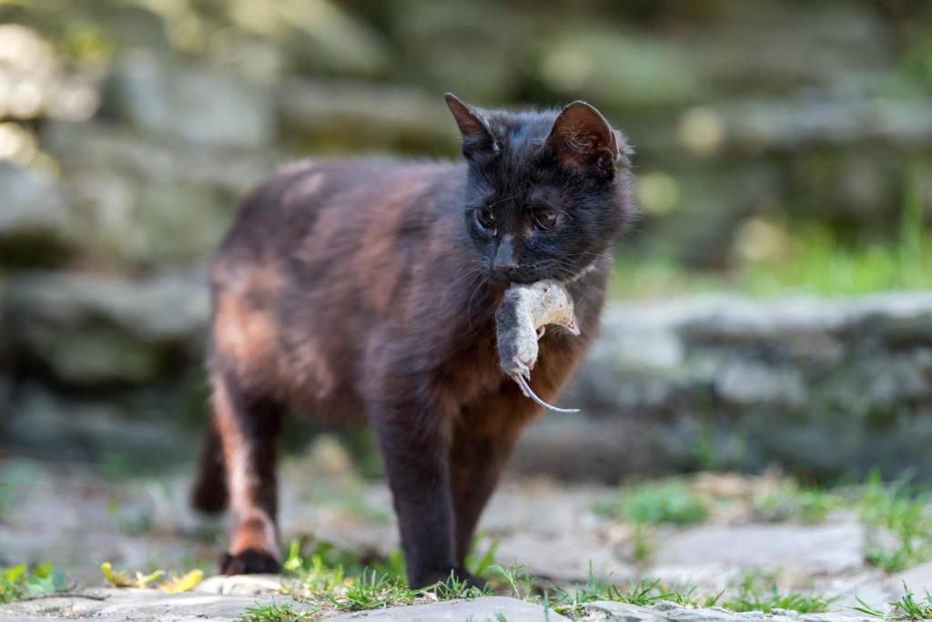 Mauskadaver im Maul einer Katze